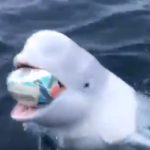 WATCH: Beluga whale showing off some silky footy skills
